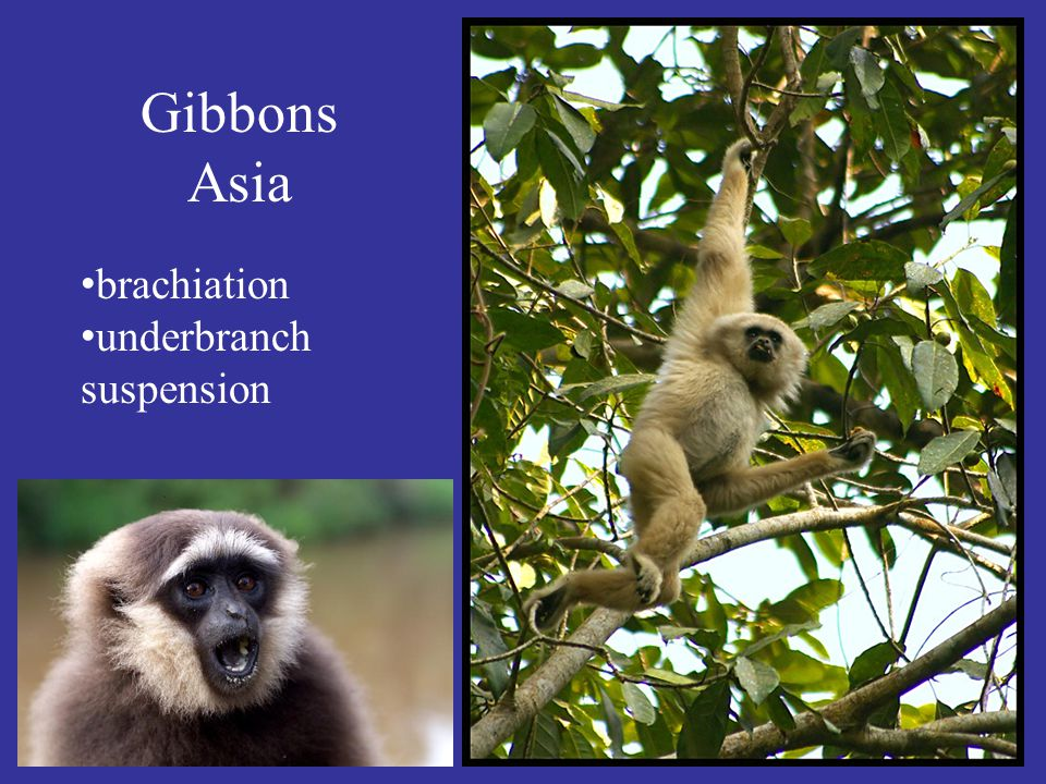 Gibbons Asia brachiation underbranch suspension