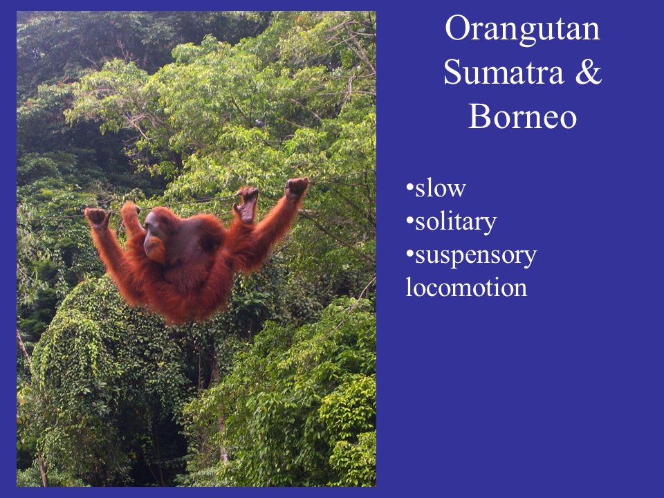 Orangutan Sumatra & Borneo slow solitary suspensory locomotion