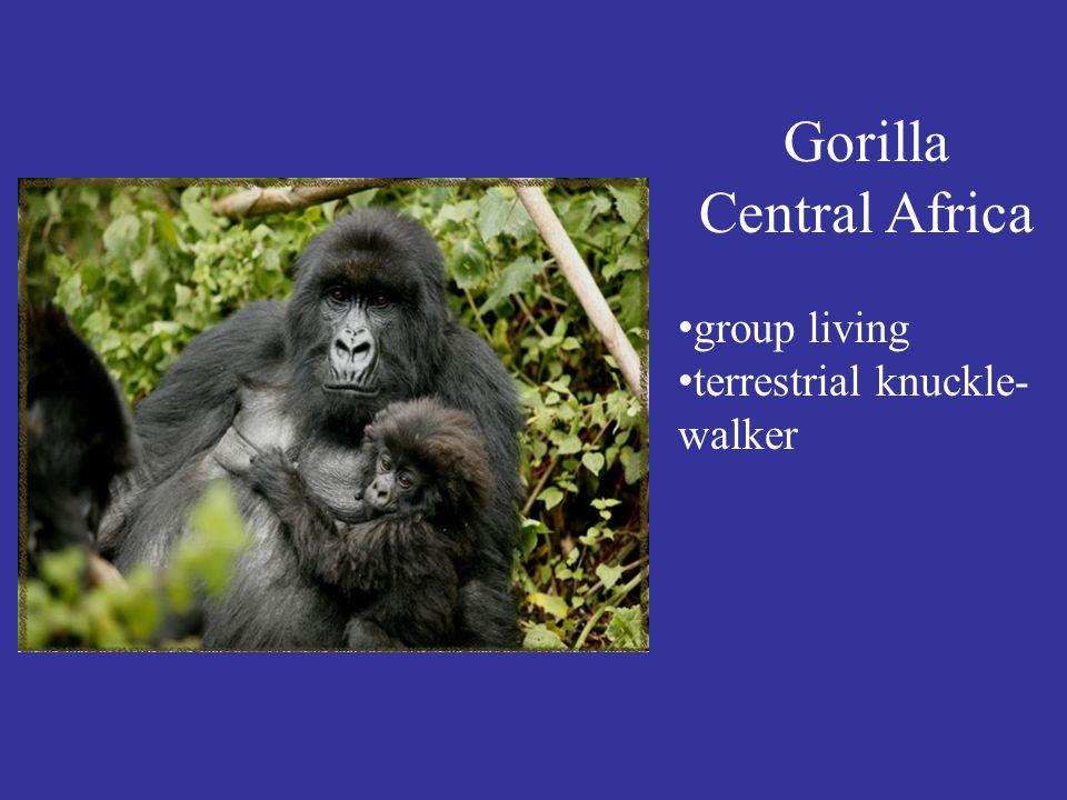 Gorilla Central Africa group living terrestrial knuckle- walker