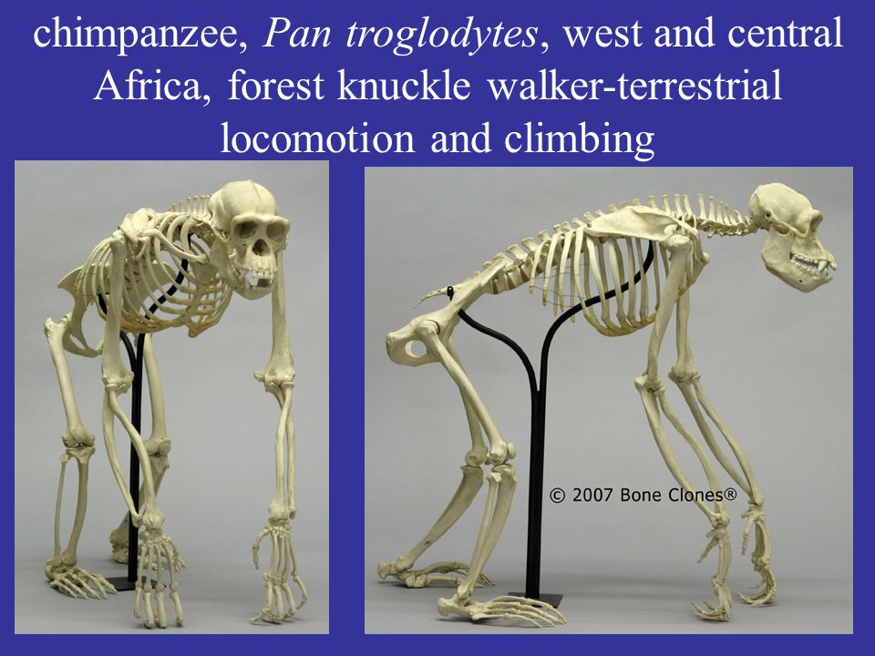 chimpanzee, Pan troglodytes, west and central Africa, forest knuckle walker-terrestrial locomotion and climbing