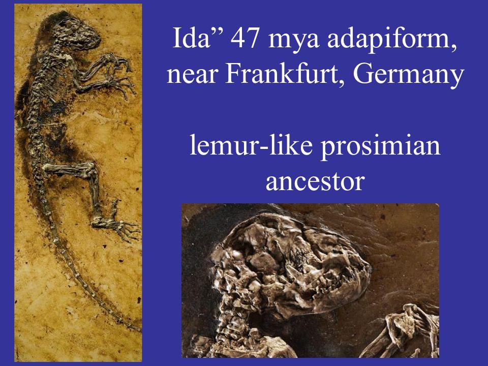 Ida 47 mya adapiform, near Frankfurt, Germany lemur-like prosimian ancestor