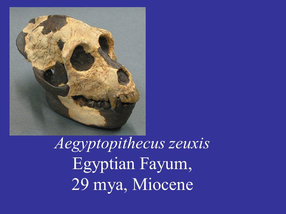 Aegyptopithecus zeuxis Egyptian Fayum, 29 mya, Miocene
