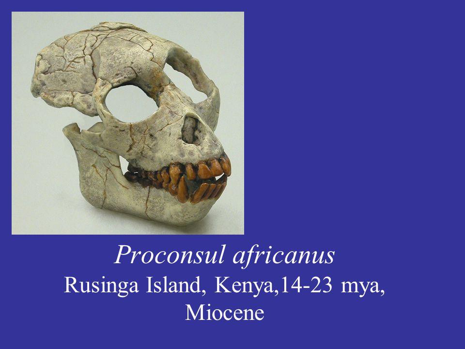 Proconsul africanus Rusinga Island, Kenya,14-23 mya, Miocene