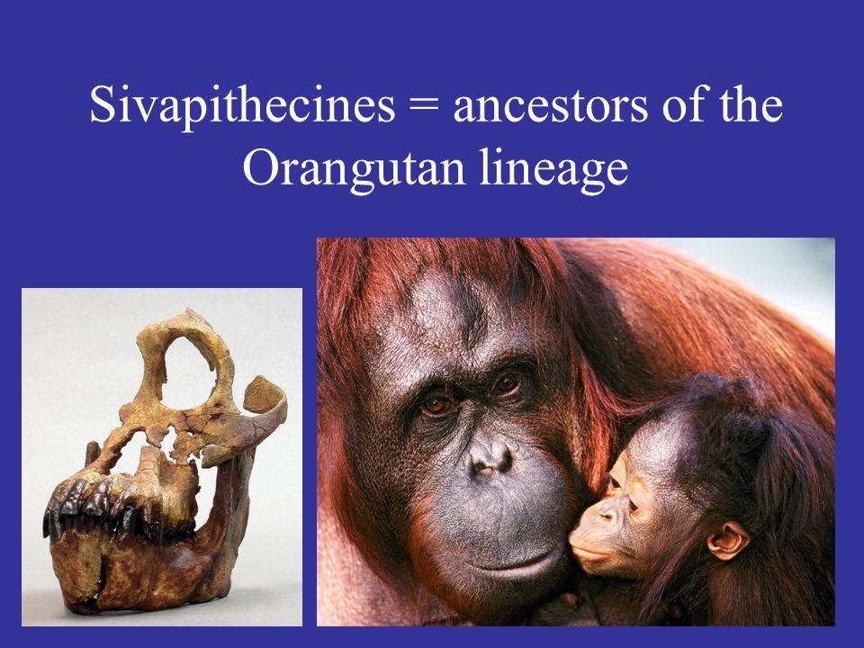Sivapithecines = ancestors of the Orangutan lineage