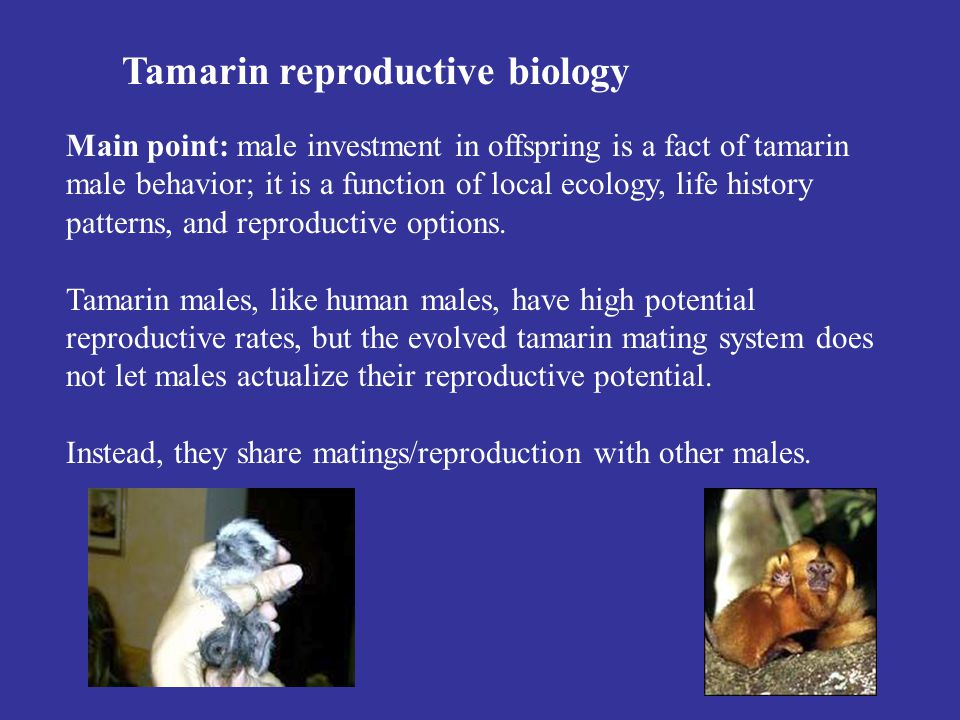 Tamarin reproductive biology Main point: male investment in offspring is a fact of tamarin male behavior; it is a function of local ecology, life history patterns, and reproductive options.