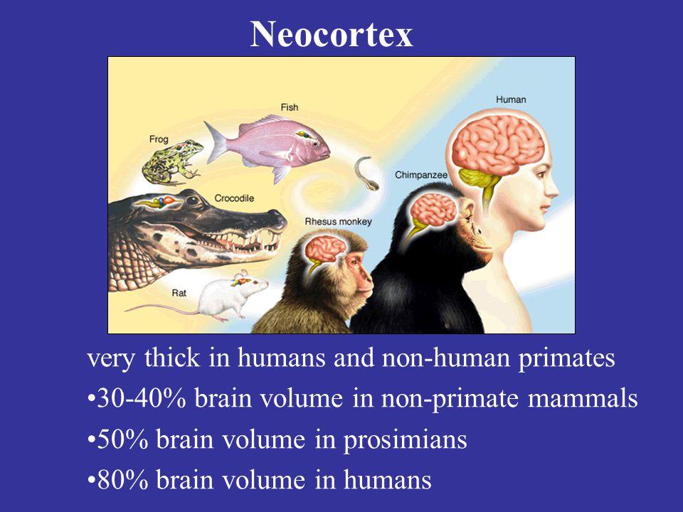 Neocortex very thick in humans and non-human primates 30-40% brain volume in non-primate mammals 50% brain volume in prosimians 80% brain volume in humans