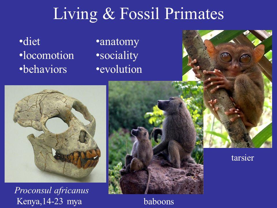 Living & Fossil Primates Proconsul africanus Kenya,14-23 mya tarsier baboons diet locomotion behaviors anatomy sociality evolution