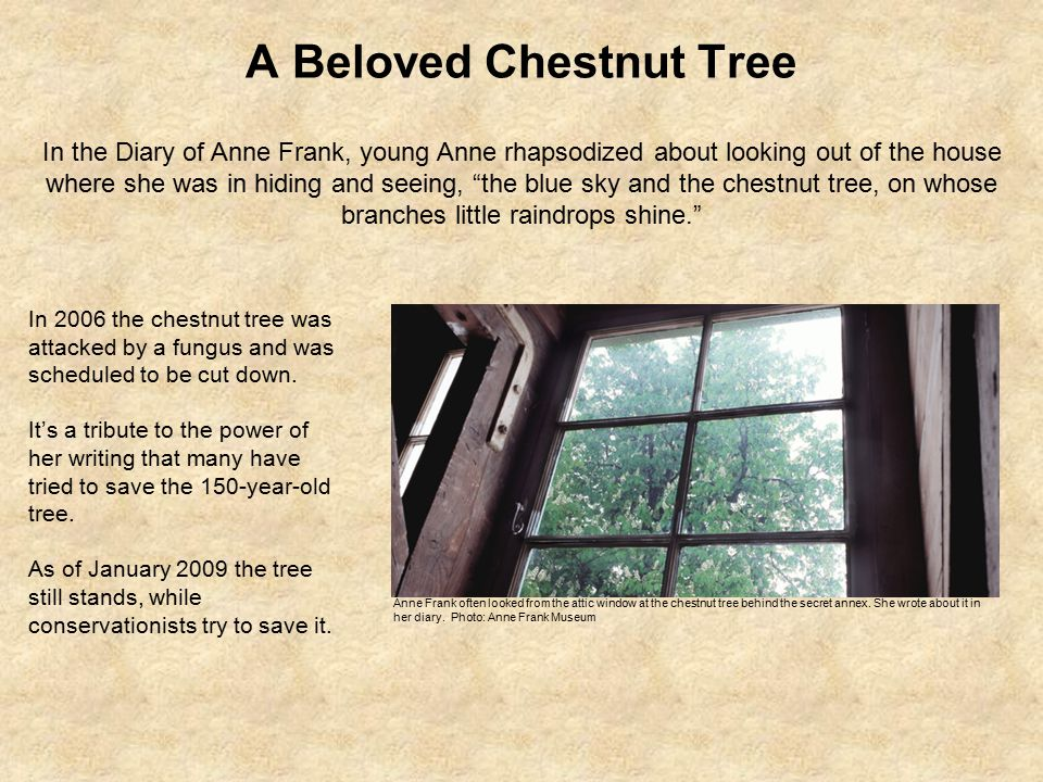 A Beloved Chestnut Tree Anne Frank often looked from the attic window at the chestnut tree behind the secret annex.