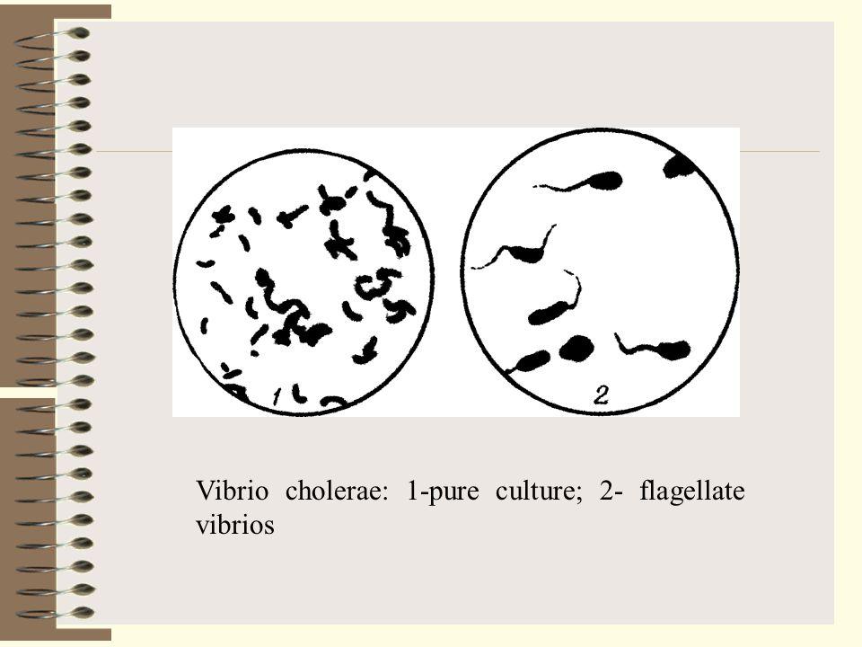 Vibrio cholerae: 1-pure culture; 2- flagellate vibrios