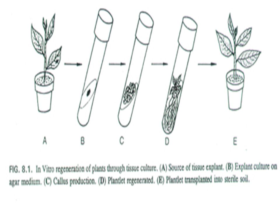 Exogenous genes (non-plant genes) Applications: transgenic pathogen-derived genes bacterial genes any other organism Pathogen resistance Herbicide resistance bioreactors Delivery systems