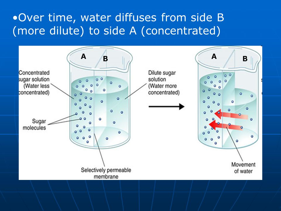 B A B A Over time, water diffuses from side B (more dilute) to side A (concentrated)