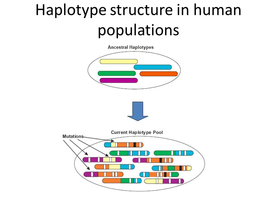 Haplotype structure in human populations