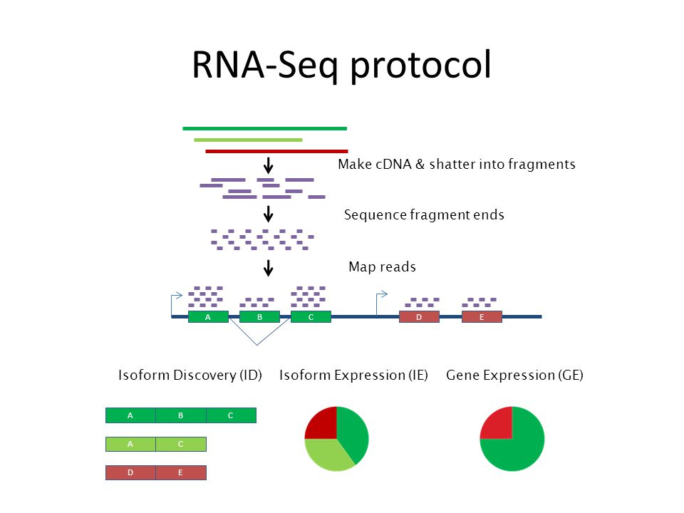 RNA-Seq protocol Make cDNA & shatter into fragments Sequence fragment ends ABCDE Map reads Gene Expression (GE)Isoform Expression (IE) ABC AC DE Isoform Discovery (ID)