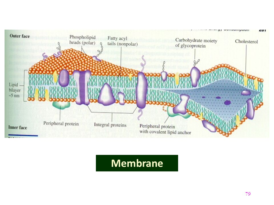 79 Membrane