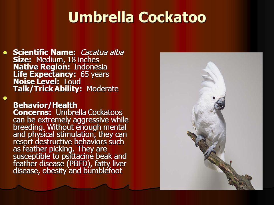 Umbrella Cockatoo Scientific Name: Cacatua alba Size: Medium, 18 inches Native Region: Indonesia Life Expectancy: 65 years Noise Level: Loud Talk/Tric