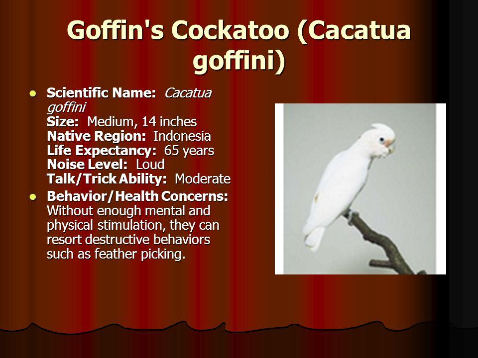 Goffin's Cockatoo (Cacatua goffini) Scientific Name: Cacatua goffini Size: Medium, 14 inches Native Region: Indonesia Life Expectancy: 65 years Noise