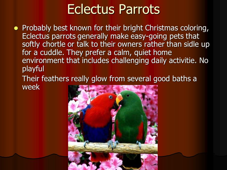 Eclectus Parrots Probably best known for their bright Christmas coloring, Eclectus parrots generally make easy-going pets that softly chortle or talk