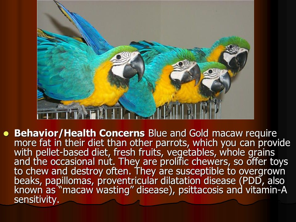 Behavior/Health Concerns Blue and Gold macaw require more fat in their diet than other parrots, which you can provide with pellet-based diet, fresh fr