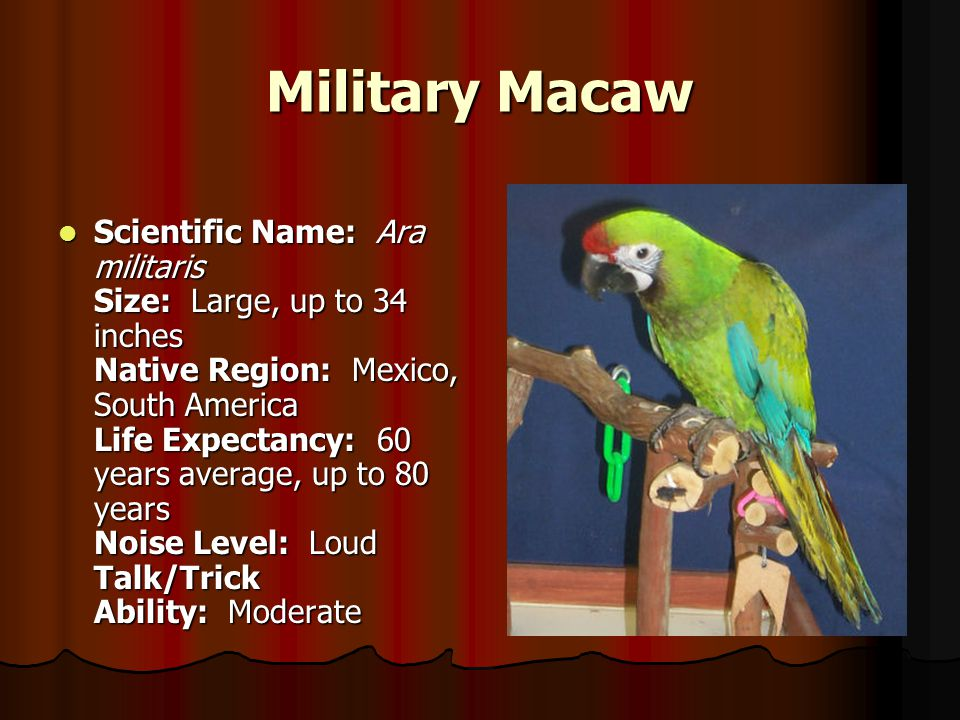 Military Macaw Scientific Name: Ara militaris Size: Large, up to 34 inches Native Region: Mexico, South America Life Expectancy: 60 years average, up