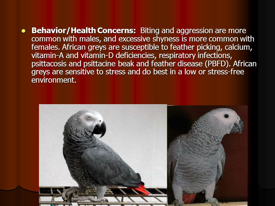 Behavior/Health Concerns: Biting and aggression are more common with males, and excessive shyness is more common with females. African greys are susce