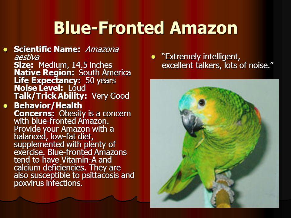 Blue-Fronted Amazon Scientific Name: Amazona aestiva Size: Medium, 14.5 inches Native Region: South America Life Expectancy: 50 years Noise Level: Lou