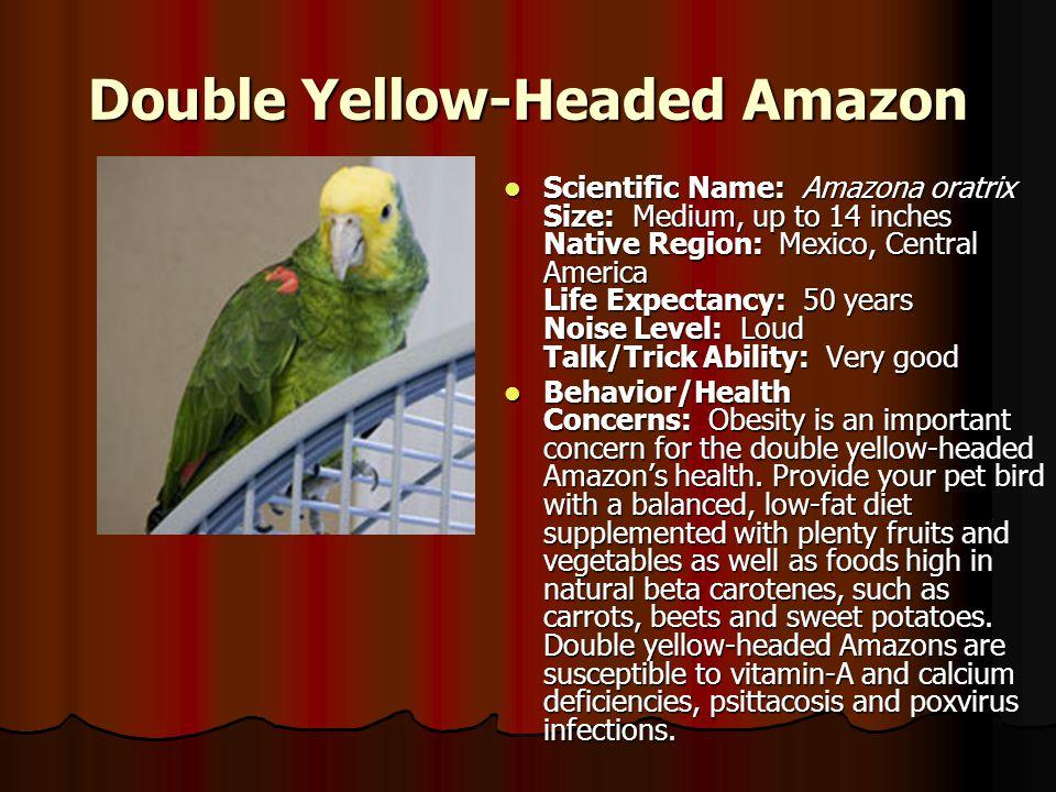 Double Yellow-Headed Amazon Scientific Name: Amazona oratrix Size: Medium, up to 14 inches Native Region: Mexico, Central America Life Expectancy: 50