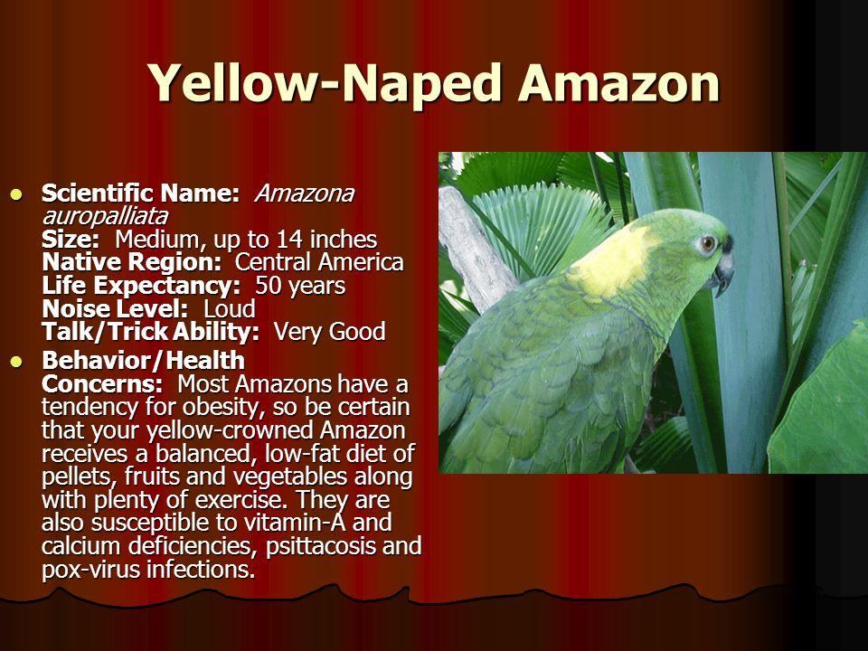 Yellow-Naped Amazon Scientific Name: Amazona auropalliata Size: Medium, up to 14 inches Native Region: Central America Life Expectancy: 50 years Noise