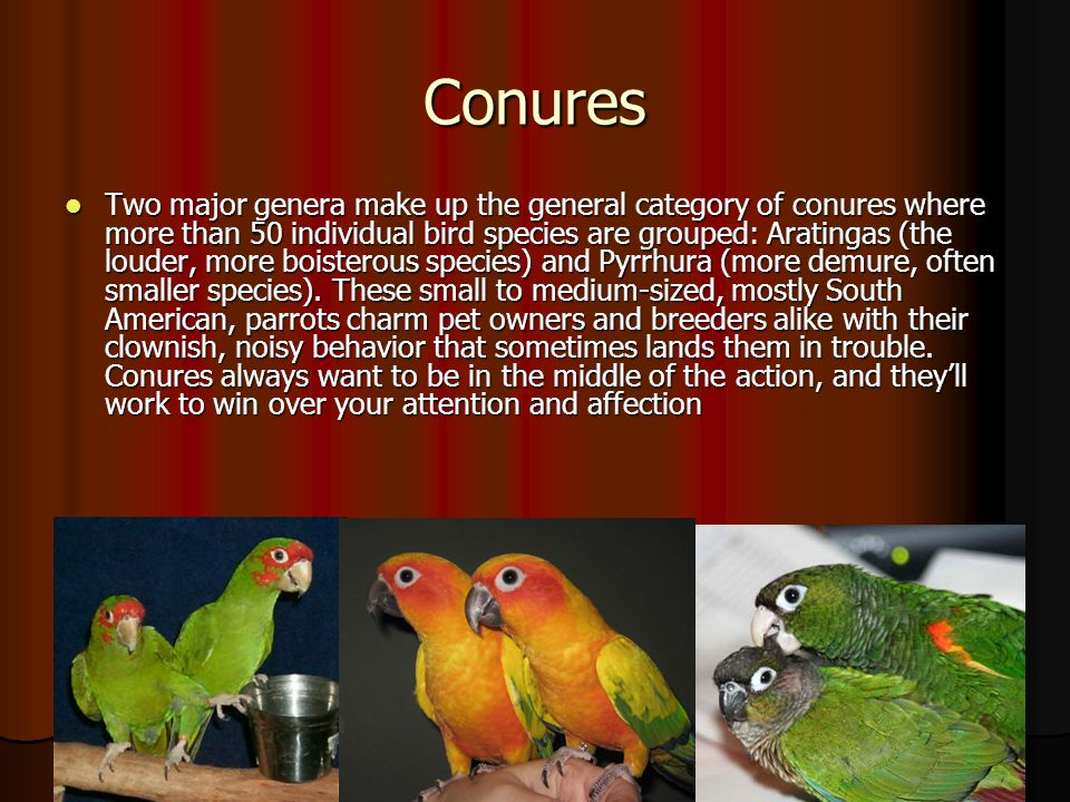 Conures Two major genera make up the general category of conures where more than 50 individual bird species are grouped: Aratingas (the louder, more b