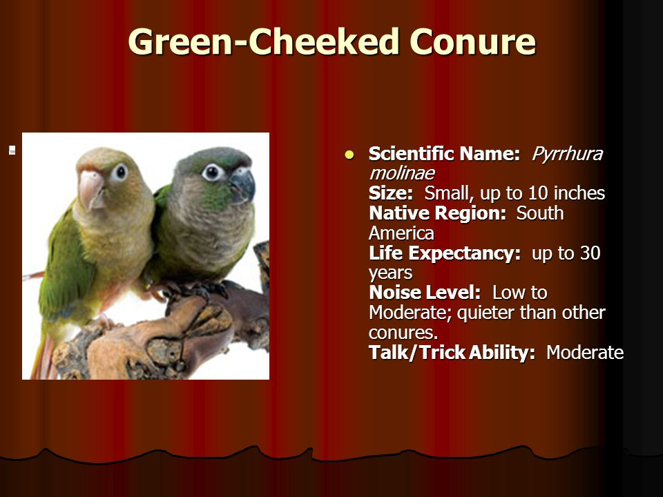 Green-Cheeked Conure Scientific Name: Pyrrhura molinae Size: Small, up to 10 inches Native Region: South America Life Expectancy: up to 30 years Noise