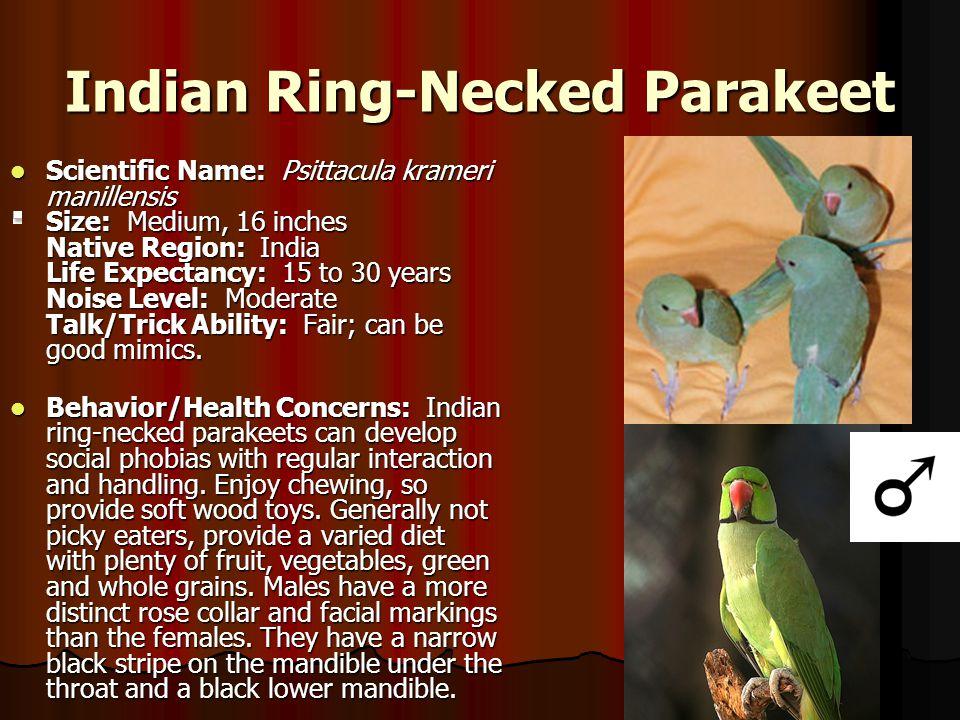 Indian Ring-Necked Parakeet Scientific Name: Psittacula krameri manillensis Size: Medium, 16 inches Native Region: India Life Expectancy: 15 to 30 yea