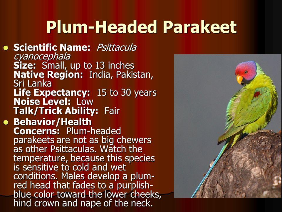Plum-Headed Parakeet Scientific Name: Psittacula cyanocephala Size: Small, up to 13 inches Native Region: India, Pakistan, Sri Lanka Life Expectancy: