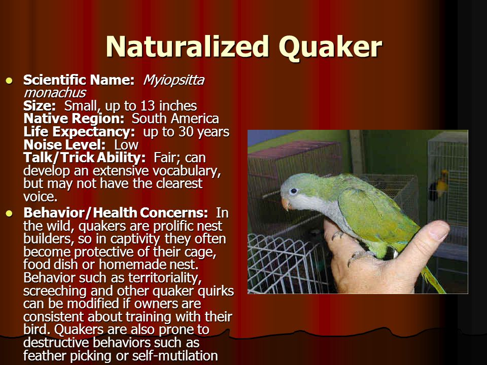 Naturalized Quaker Scientific Name: Myiopsitta monachus Size: Small, up to 13 inches Native Region: South America Life Expectancy: up to 30 years Nois