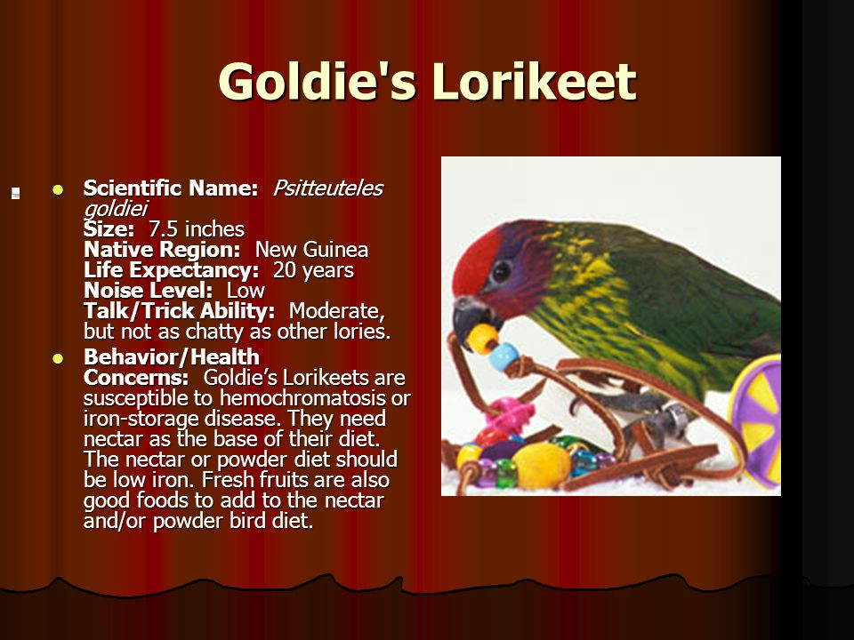 Goldie's Lorikeet Scientific Name: Psitteuteles goldiei Size: 7.5 inches Native Region: New Guinea Life Expectancy: 20 years Noise Level: Low Talk/Tri