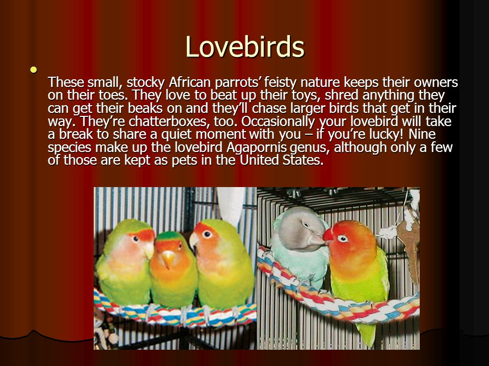 Lovebirds These small, stocky African parrots' feisty nature keeps their owners on their toes. They love to beat up their toys, shred anything they ca