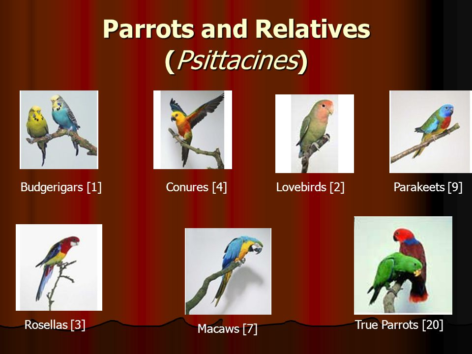 Parrots and Relatives ( Psittacines ) Budgerigars [1]Conures [4]Lovebirds [2] Macaws [7] Parakeets [9] Rosellas [3]True Parrots [20]