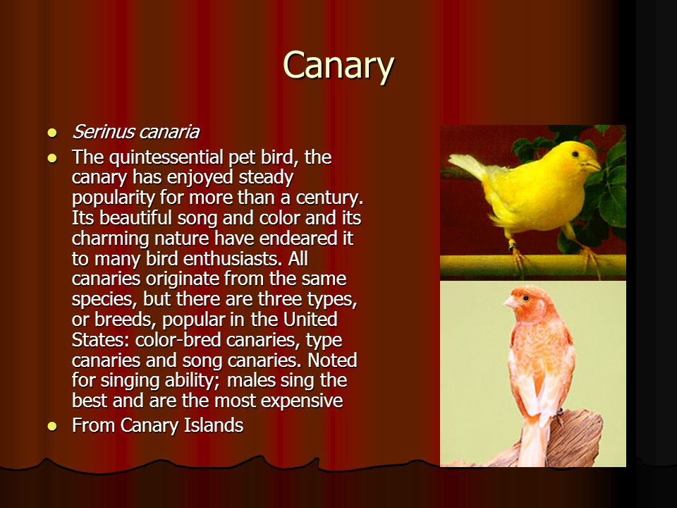 Canary Serinus canaria Serinus canaria The quintessential pet bird, the canary has enjoyed steady popularity for more than a century. Its beautiful so