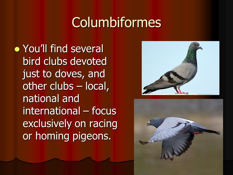 Columbiformes You'll find several bird clubs devoted just to doves, and other clubs – local, national and international – focus exclusively on racing
