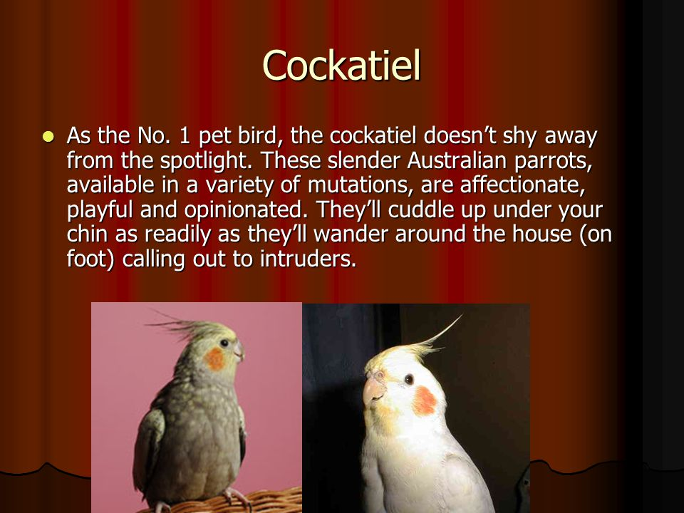 Cockatiel As the No. 1 pet bird, the cockatiel doesn't shy away from the spotlight. These slender Australian parrots, available in a variety of mutati