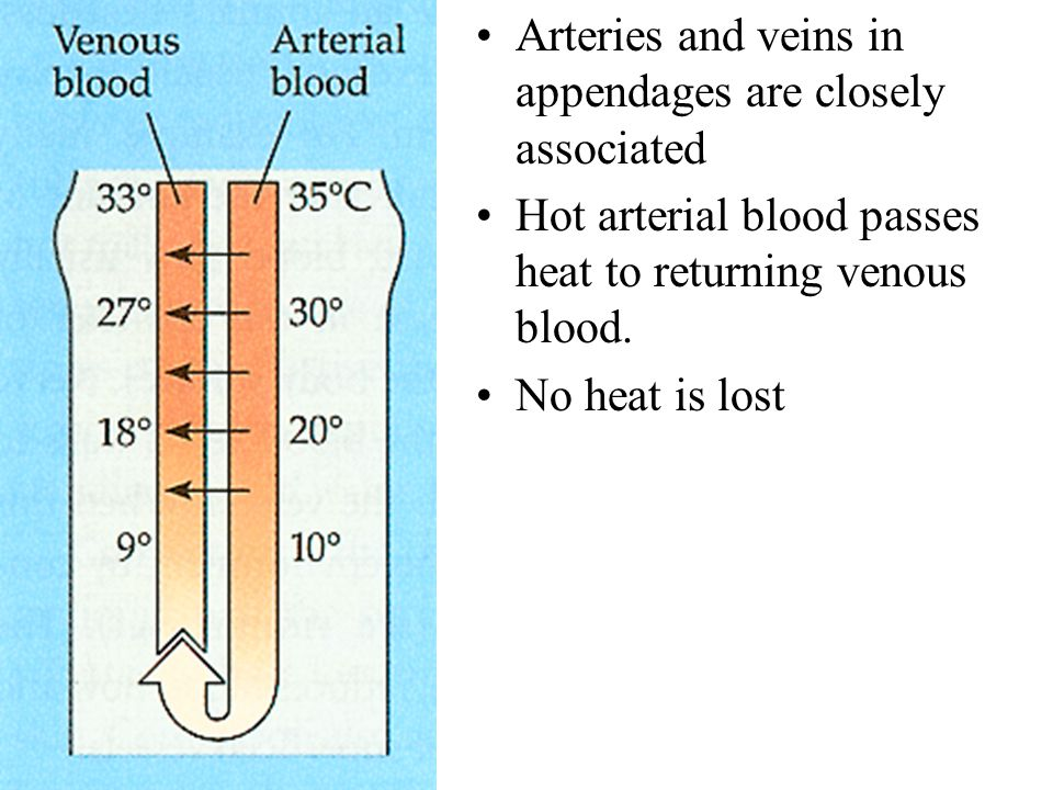 Arteries and veins in appendages are closely associated Hot arterial blood passes heat to returning venous blood. No heat is lost