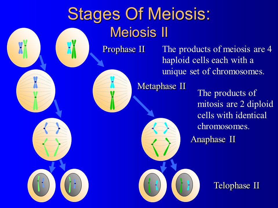 Stages Of Meiosis: Meiosis II Metaphase II Anaphase II Telophase II The products of mitosis are 2 diploid cells with identical chromosomes. The produc