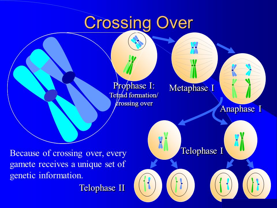©2000 Timothy G. Standish Prophase I: Tetrad formation/ crossing over Prophase I: Tetrad formation/ crossing over Crossing Over Anaphase I Telophase I