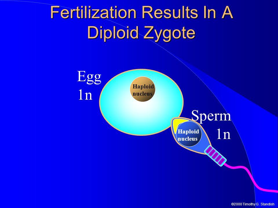 ©2000 Timothy G. Standish Egg 1n Haploid nucleus Fertilization Results In A Diploid Zygote Sperm 1n Haploid nucleus