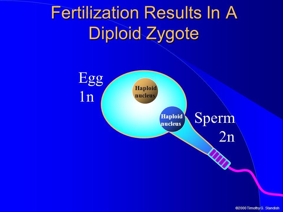 ©2000 Timothy G. Standish Sperm 2n Fertilization Results In A Diploid Zygote Egg 1n Haploid nucleus Haploid nucleus
