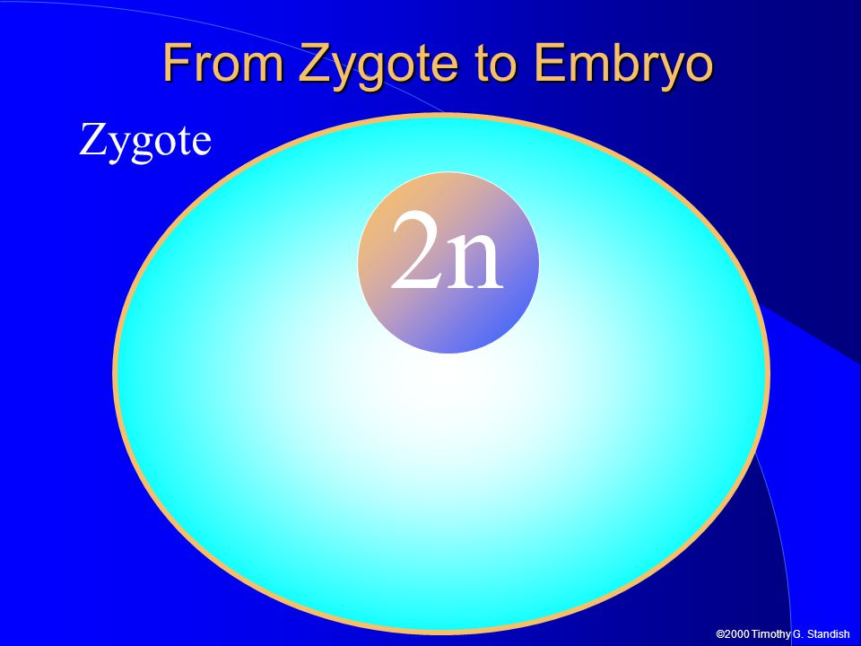 ©2000 Timothy G. Standish From Zygote to Embryo Zygote 2n Zygote 2n