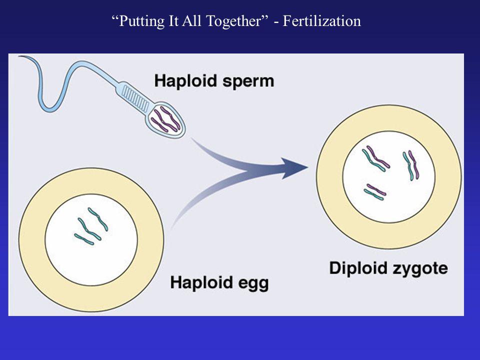 Putting It All Together - Fertilization