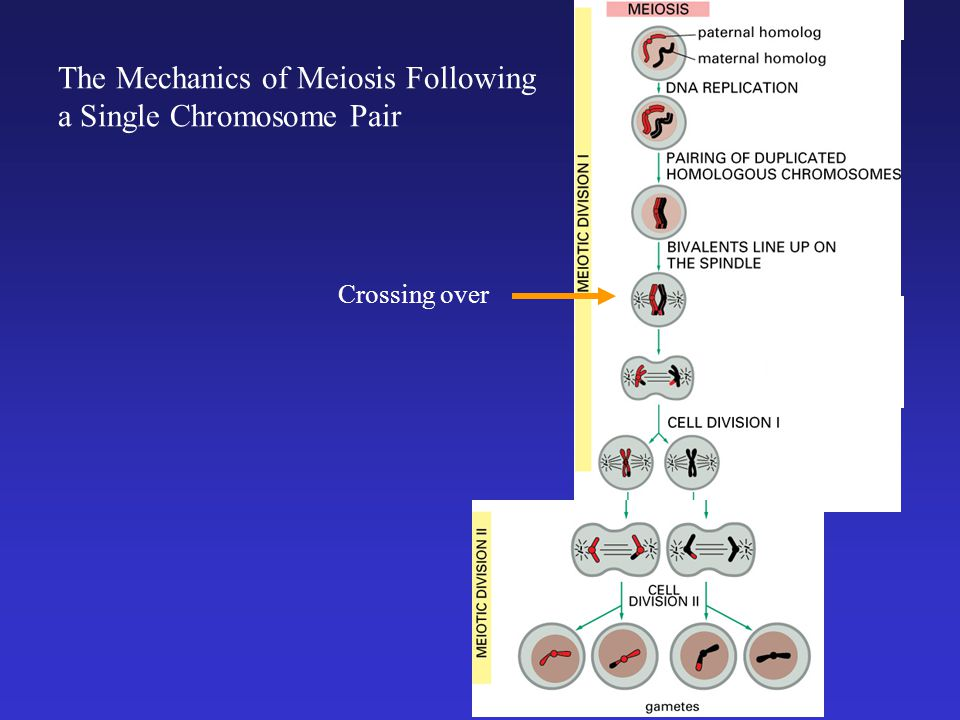 The Mechanics of Meiosis Following a Single Chromosome Pair Crossing over