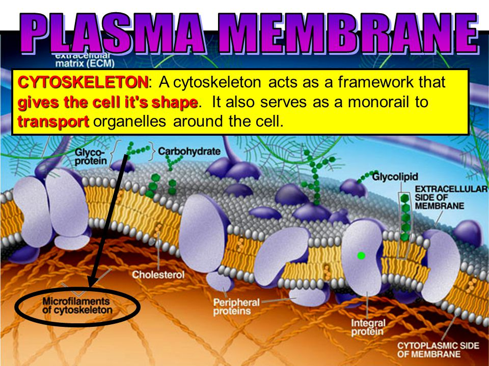 CYTOSKELETON gives the cell it s shape transport CYTOSKELETON: A cytoskeleton acts as a framework that gives the cell it s shape.