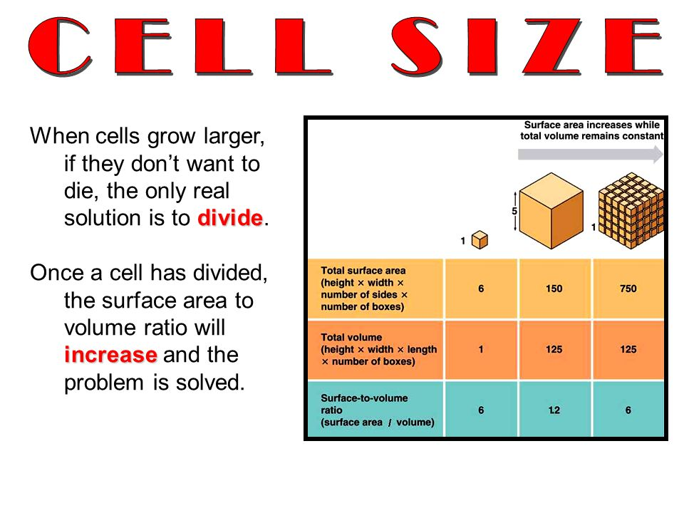 divide When cells grow larger, if they don't want to die, the only real solution is to divide.