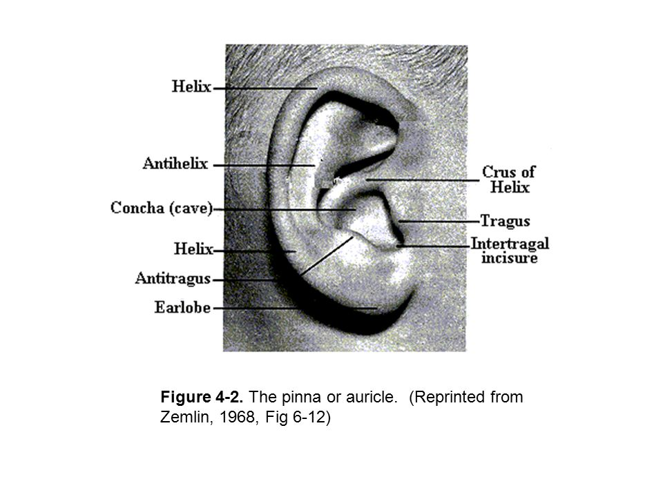 (Zemlin, 1968, Fig 6-27) Anterior surface cochleariform process (another pyramid) tendon of the tensor tympani muscle
