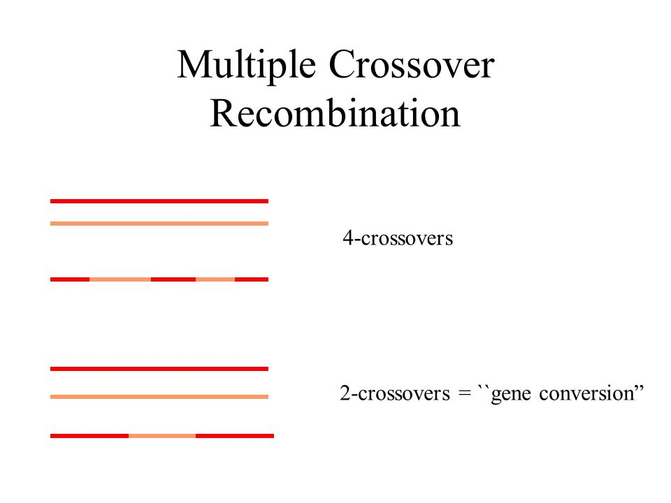 Multiple Crossover Recombination 4-crossovers 2-crossovers = ``gene conversion
